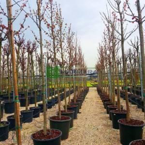Katsura Ağacı, karamel ağacı , Yalancı erguvan ağacı - Cercidiphyllum japonicum (CERCIDIPHYLLACEAE)