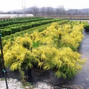 Savara yalancı altuni sürünücü servisi, Bulvar servisi, Yosun servisi - Chamaecyparis pisifera filifera aurea nana (CUPRESSACEAE)