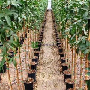 Brezilya Biber Ağacı - Schinus terebinthifolius (ANACARDIACEAE)