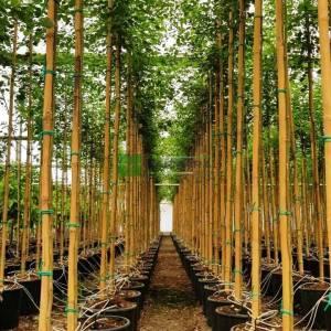 Hint Gül Ağacı - Dalbergia sissoo (FABACEAE)
