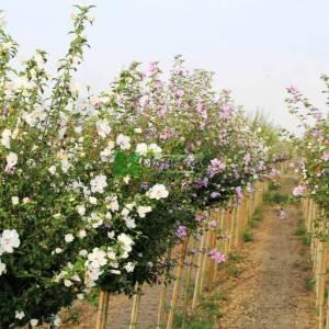 hatmi ağacı aşılı beyaz-kırmızı çiçekli, Ağaç hatmi kısa tijli - Hibiscus syriacus china chiffon bricutts half tige (MALVACEAE)