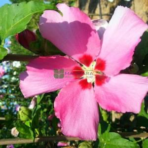 hatmi ağacı aşılı pembe çiçekli, Ağaç hatmi kısa tijli - Hibiscus syriacus aphrodite half tige (MALVACEAE)