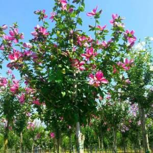 hatmi ağacı aşılı pembe çiçekli, Ağaç hatmi tijli - Hibiscus syriacus aphrodite tige (MALVACEAE)