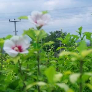 Kalp şekilli kırmızı-beyaz çiçekli hatmi çalısı - Hibiscus syriacus helene bush-multi stem (MALVACEAE)