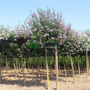 Rose of sharon, Shrub althea lavender chiffon tige