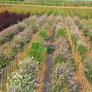 hatmi ağacı lavanta mor çiçekli aşılı tijli - Hibiscus syriacus lavender chiffon tige (MALVACEAE)