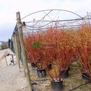 Kırmızı gövdeli kızılcık, Ergen, Kiran, Kiren, sibirya kızılcığı - Cornus alba sibirica (CORNACEAE)