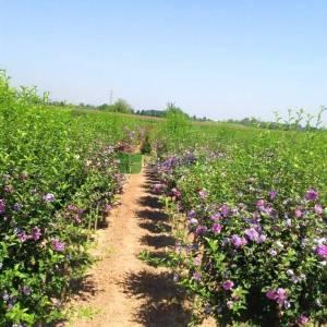 hatmi ağacı lavanta mor çiçekli aşılı kısa tijli, baston formlu - Hibiscus syriacus lavender chiffon half tige (MALVACEAE)