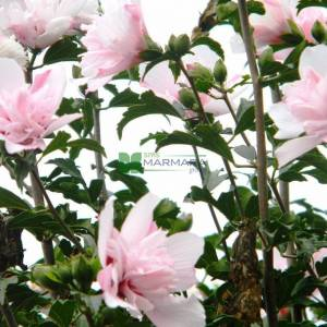 hatmi ağacı pembe çiçekli aşılı tijli - Hibiscus syriacus pink chiffon tige (MALVACEAE)
