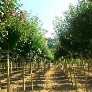 hatmi ağacı pembe çiçekli aşılı kısa tijli, baston formlu - Hibiscus syriacus purple chiffon half tige (MALVACEAE)