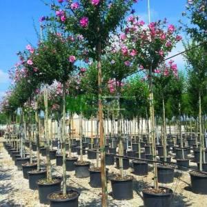 hatmi ağacı mor çiçekli aşılı tijli, - Hibiscus syriacus purple chiffon tige (MALVACEAE)