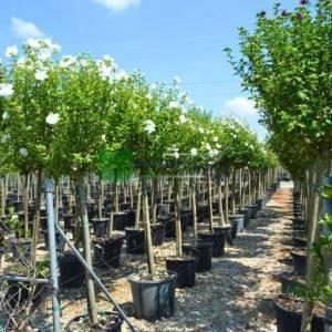 hatmi ağacı beyaz çiçekli aşılı kısa tijli, baston formlu - Hibiscus syriacus white chiffon half tige (MALVACEAE)