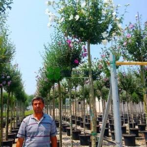 hatmi ağacı beyaz çiçekli aşılı tijli, - Hibiscus syriacus white chiffon tige (MALVACEAE)