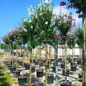 hatmi ağacı beyaz çiçekli aşılı tijli - Hibiscus syriacus diana tige (MALVACEAE)