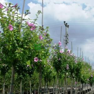 hatmi ağacı mor/menekşe çiçekli aşılı kısa tijli, baston formlu - Hibiscus syriacus russian violet half tige (MALVACEAE)