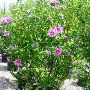 hatmi ağacı mor/menekşe çiçekli aşılı çalı/piramit formlu - Hibiscus syriacus russian violet bush/pyramidalis (MALVACEAE)