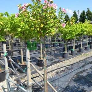 hatmi ağacı pembe/kırmızı çiçekli aşılı kısa tijli, baston formlu - Hibiscus syriacus hamabo half tige (MALVACEAE)
