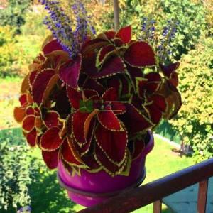 Coleus, Flame Nettle, Painted Nettle
