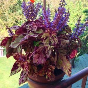 Yaprak güzeli, Kolyoz çiçeği, Renkli ısırgan - Solenostemon scutellarioides (Plectranthus, Coleus blumei) (LAMIACEAE)