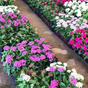 Beşiz çiçeği, Pentas, Mısır Yıldızı, Yıldız Çiçeği - Pentas lanceolata (RUBIACEAE)