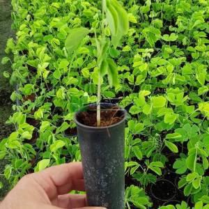 Yağmur Ağacı, gülibrişim - Albizia saman (Mimosa) (FABACEAE)