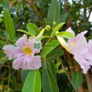 Pembe Trompet Ağacı, Venezuela meşesi - Tabebuia rosea (BIGNONIACEAE)