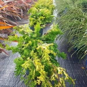 Hinoki yalancı lavson servisi - Chamaecyparis obtusa rashahiba (CUPRESSACEAE)