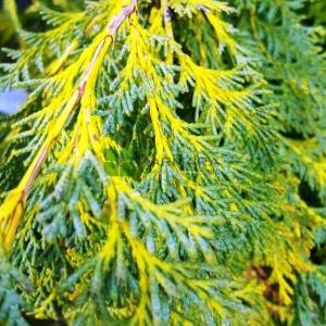 Bodur lavson servisi - Chamaecyparis lawsoniana sunkist (CUPRESSACEAE)