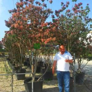 Bulut çalısı yeşil yapraklı,Duman ağacı, Peruka çalısı, Boyacı sumağı - Cotinus coggygria bush/multistem (ANACARDIACEAE)