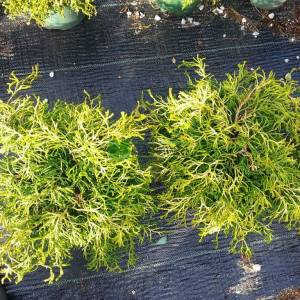 Bodur altuni lavson servisi - Chamaecyparis obtusa tsatsumi gold (CUPRESSACEAE)