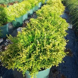 Bodur savara servisi, Bulvar Selvi - Chamaecyparis pisifera plumosa compressa (CUPRESSACEAE)