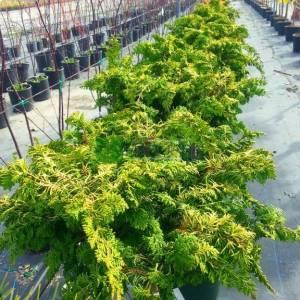 Bodur lavson servisi kısa tijli - Chamaecyparis obtusa fernspray gold half tige (CUPRESSACEAE)