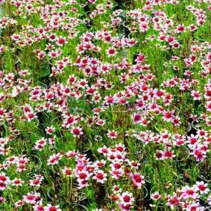 Pembe çiçekli kız gözü - Coreopsis rosea sweet dreams (ASTERACEAE)