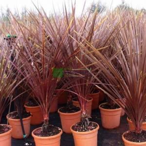 Kordilin, Lahana palmiyesi, torbay lahanası, - Cordyline australis red star (ASPARAGACEAE)