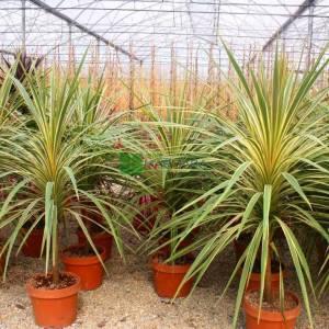 Kordilin sarı yeşil yapraklı, Lahana palmiyesi, torbay lahanası, - Cordyline australis torbay dazzler (ASPARAGACEAE)