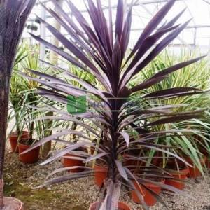 Cordyline, Cabbage Palm, Cabbage Tree, Ti Kouka, Torbay Palm, Dracaena Spike Red Star