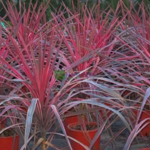 Cordyline, Cabbage Palm, Cabbage Tree, Ti Kouka, Torbay Palm, Dracaena Spike Pink Passion