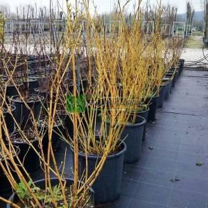 Sarı gövdeli kızılcık, Kırmızı Hasır Kızılcık, Altın dallı kızılcık - Cornus (stolonifera) sericea flaviramea (CORNACEAE)
