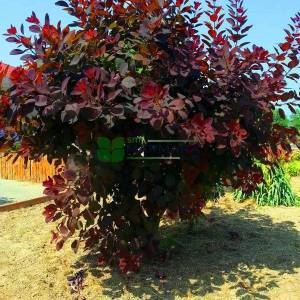 Bulut çalısı kırmızı yapraklı,Duman ağacı,Peruka çalısı,Boyacı sumağı - Cotinus coggygria royal purple multi stem/bush (ANACARDIACEAE)