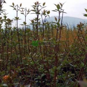 Tatar kızılcığı, Kara saplı kızılcık, - Cornus alba kesselringii (CORNACEAE)