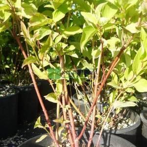 Kızılcık kırmızı gövdeli, sepetçi kızılcığı, - Cornus sericea kelseyi (CORNACEAE)
