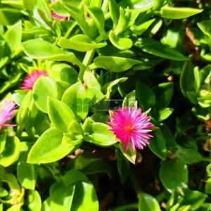 yaban mersini, kalp yaprağI, kırmızı aptenia, buz çiçeği, Öğle çiçeği - Aptenia cordifolia (AIZOACEAE)