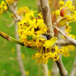 Aşılı meyve kızılcık - Cornus mas (CORNACEAE)