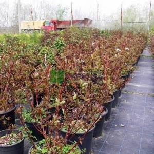 Yabani Kızılcık, Yaygın kızılcık, kanlı kızılcık - Cornus sanguinea midwinter fire (CORNACEAE)