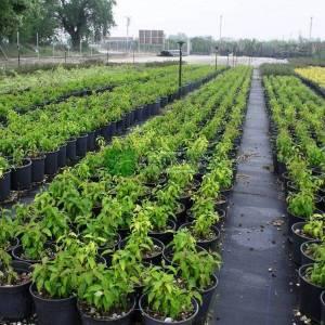 Bodur süs kızılcığı - Cornus sericea kelseys gold (CORNACEAE)