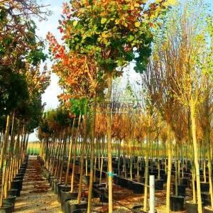 Bulut çalısı yeşil yapraklı,Duman ağacı, Peruka çalısı, Boyacı sumağı - Cotinus coggygria tige (ANACARDIACEAE)