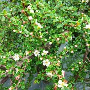 Dağmuşmulası küçük yapraklı kısa tijli - Cotoneaster microphyllus cochleatus half tige (ROSACEAE)