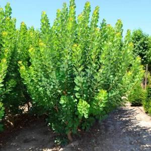 Yeşil yapraklı bulut çalısı,Duman ağacı, Peruka çalısı, Boyacı sumağı - Cotinus coggygria young lady (ANACARDIACEAE)