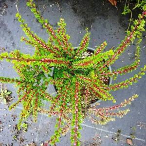 Dağmuşmulası küçük yapraklı - Cotoneaster microphyllus (ROSACEAE)