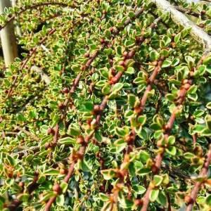 Dağmumuşlası sarı-yeşil yapraklı kısa tijli - Cotoneaster horizontalis variegatus half tige (ROSACEAE)
